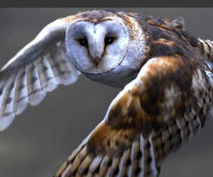 barn owl, Flying, and nature image