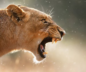 lion, lioness, and nature image