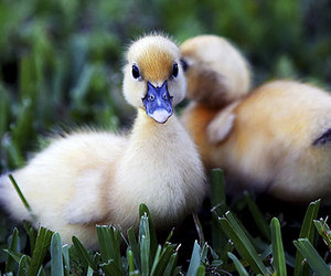 animal, baby, and duck image