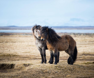 iceland and icelandichorse image
