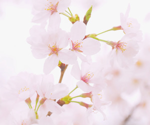 flowers, sakura, and cute image