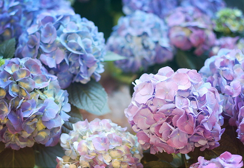 flowers, blue, and hydrangea image