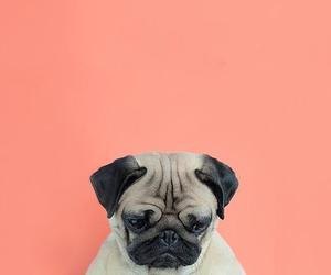 pug and dog image
