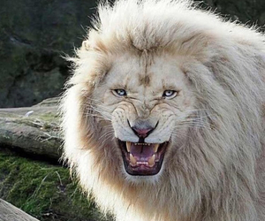 lion, beautiful, and picture image