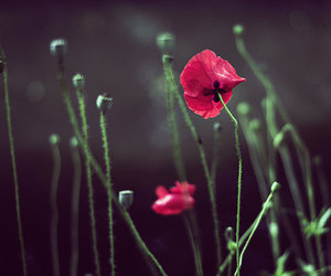 flowers, poppies, and wall art image