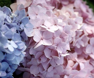 blue, hydrangeas, and pink image