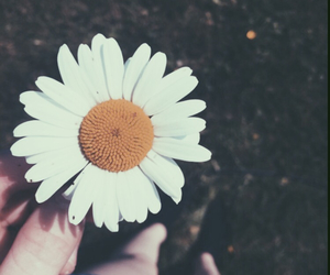 daisy, flower, and flowerpower image