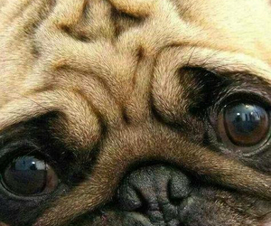 animals and pug image