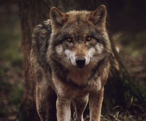 wolf, animal, and indie image