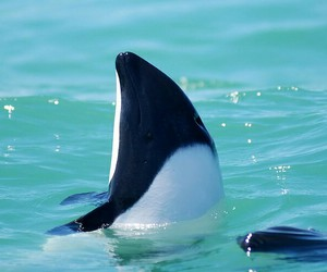 commerson's dolphin image