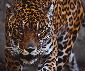 animal, jaguar, and leopard image