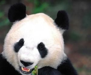 panda, animal, and bamboo image