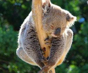 australia, Koala, and summer image