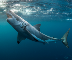 shark, animal, and beauty image