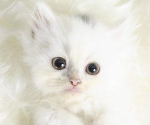 cat, kitten, and white image