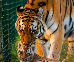 tiger, animal, and tigers image