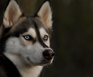 dog and husky image