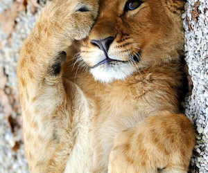 baby, lion, and cute image