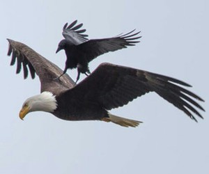 crow, eagle, and Flying image