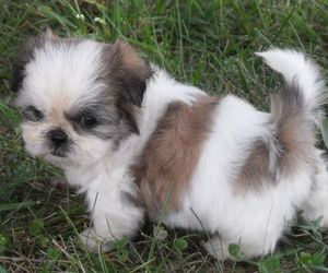 puppy and shih tzu image