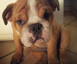 baby, bulldog, and puppy image