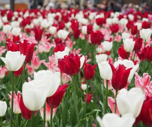 flowerbed, plant, and tulipe image