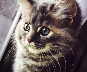 cats, kittens, and mainecoon image