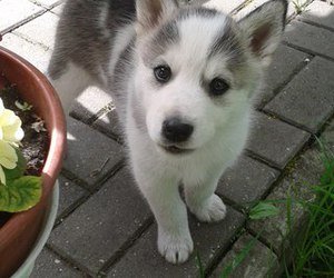 dogs, husky, and little dog image