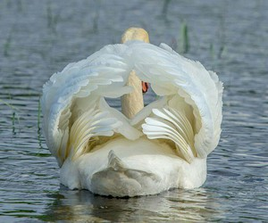 Swan and wings image