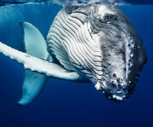 animal, blue, and whale image