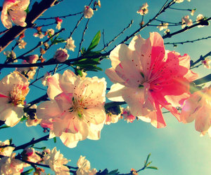 cherry blossoms, japanese, and floral image