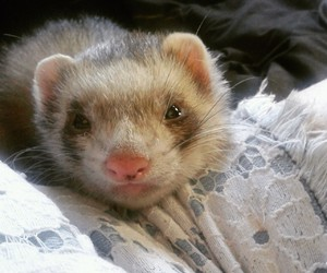 animal, animals, and ferret image