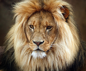 animal, face, and lion image