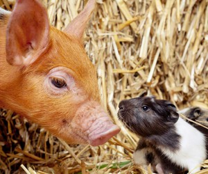 animals, farm, and guinea pig image