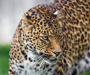 leopard and animal image