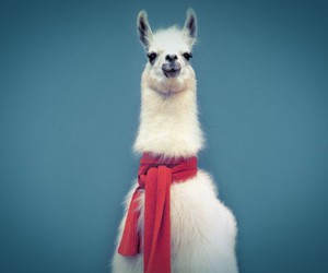 lama, llama, and scarf image