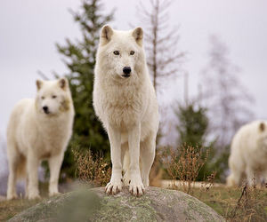 wolf, photography, and white image