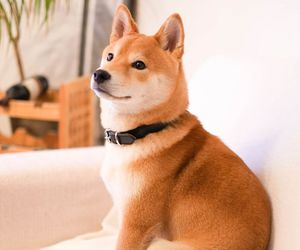 dog, pet, and shiba inu image
