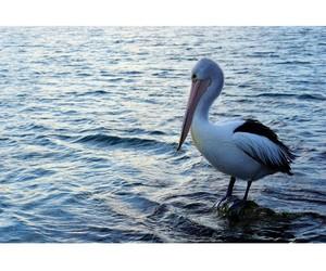 bird, water, and pelican image