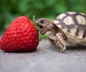 turtle and strawberry image