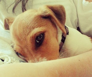 dog, jack russel, and cute image