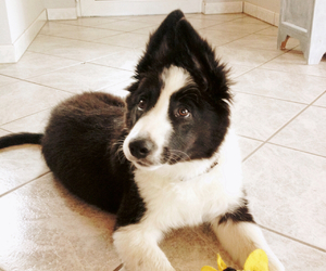 dog, animals, and border collie image