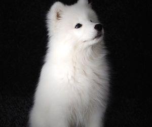 beautiful, dog, and Samoyed image