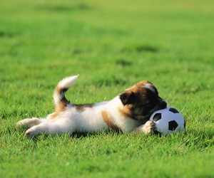 dog, cute, and football image