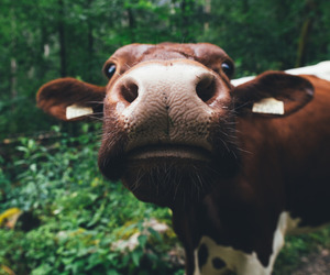 cow, animal, and nature image
