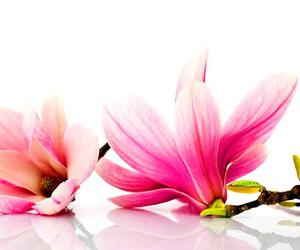 beauty, flower, and pink image
