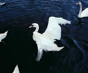blue, Swan, and animal image