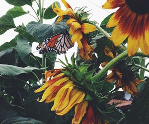 butterfly, sunflower, and beautiful image