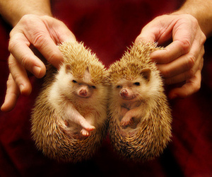 animals, hedgehogs, and cute image