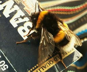 animal, bee, and bumblebee image